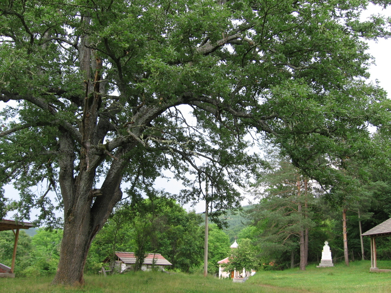 Вековно дърво при Смоличанския манастир